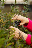 Close up on an old lady's hands cutting bushes. Royalty Free Stock Photos