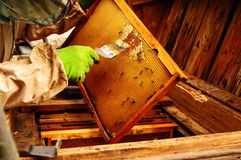 Close up of Old Man Human Hand Extracting Honey from Yellow Honeycomb Outdoor Stock Image