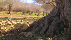 Close up of old olive tree stock video