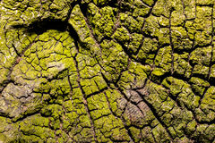 Close up of an old rough wood background with lichens Stock Photos