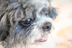 Close up old shih tzu dog face royalty free stock images