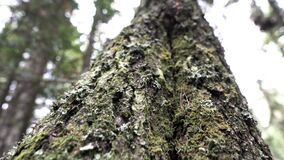 Close up of an old tree trunk covered by green moss on forest and cloudy sky background. Stock footage. Bottom view of. Close up of an old tree trunk covered by stock video footage