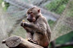 Hamadryas Baboon Pavian. Close-up of Old World hamadryas baboon pavian monkey stock photo