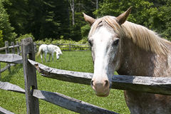 Close-up Older White Horse at Fence Royalty Free Stock Photography