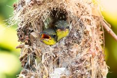 Close up of Olive-backed Sunbird family; baby bird in a bird nest hanging on tree branch waiting food from mother. Common birds in. From mother. Common birds in stock photo