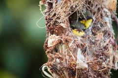 Close up of Olive-backed Sunbird family; baby bird in a bird nest hanging on tree branch waiting food from mother. Common birds in. Of Olive-backed Sunbird stock photos