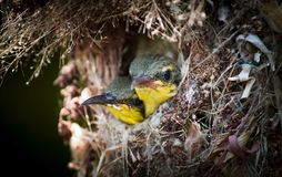Close up of Olive-backed Sunbird family; baby bird in a bird nest hanging on tree branch waiting food from mother. Common birds in. Of Olive-backed Sunbird royalty free stock photography