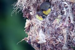 Close up of Olive-backed Sunbird family; baby bird in a bird nest hanging on tree branch waiting food from mother. Common birds in. Olive-backed Sunbird family royalty free stock images