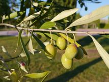 Close up of olive fruits Royalty Free Stock Images