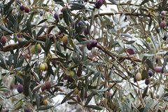 Close-up of an olive tree after the rain. Selective focus. Soller, Majorca Royalty Free Stock Photography