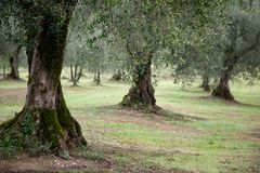 Close up of Olive Trees in Italy Royalty Free Stock Image