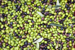 A close up of olives, ligurian olives the name is taggiasca. A close up of olives, ligurian olives, the name is taggiasca, olives near Imperia Royalty Free Stock Image