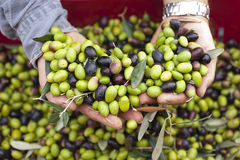 A close up of olives, ligurian olives the name is taggiasca. A close up of olives, ligurian olives, the name is taggiasca, olives near Imperia Stock Photo