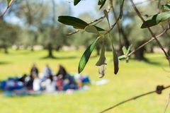 Close Up of Olives Tree Leaves on Blur Family Pic-Nic Background stock images