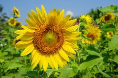 Close-up om heldere mooie gele verse zonnebloem die stuifmeelpatroon en zacht bloemblaadje met vage gebied en hemelachtergrond to Stock Fotografie