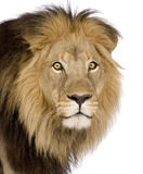 Close-up On A Lion S Head (4 And A Half Years) - P Stock Photo