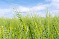 Free Close-up On Young Green Wheat Royalty Free Stock Image - 92524716