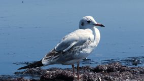Gulls at the sea stock footage