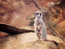One cute meerkat staying on the top of brown stone and attentive looking around in ZOO. Close up of one cute meerkat staying on the top of brown stone and Stock Images