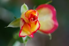 Close-up of one Delicate rose, selective focus. Voluptuous revelation. Romantic roses with love. Soft color and blur. Style. Spectacular bright background for Stock Photos
