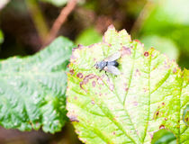 Close up of one flesh fly on leaf Sarcophaga carnaria Royalty Free Stock Photos