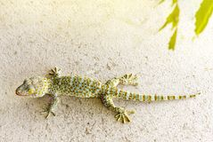 Close up healthy thailand tokay gecko cling on wall royalty free stock images