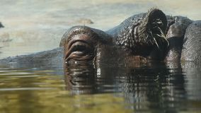 Close up one hippopotamus swim in water stock video footage