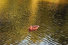 A close up of one isolated dauck swimming on the water in a pond. Close up of a brown isolated brown duck swimming on the water in the pond, the water has stock images