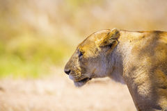 Close up of one large wild lioness in Africa Royalty Free Stock Photo