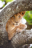 Close up of one lion rests in tree Royalty Free Stock Images