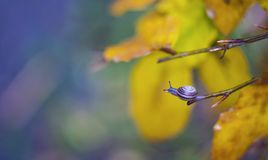 Close Up of one little snail on autumn tree branch.  Royalty Free Stock Image
