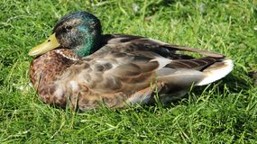 Close Up One Male Mallard Easy Way Of Living. One male wild duck relaxation and sunbathing on green grass during springtime in Europe. freedom and easy way of royalty free stock photo
