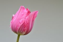 Close up of one pink tulip after rain. On blurred background Stock Photography