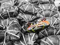 Close up one sea crab on box had bundle by plastic rope gray background Royalty Free Stock Images