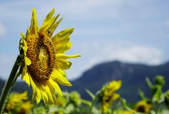 Close up of one sunflower Stock Photo