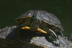 Close-up of one terrapin climbing over another Stock Photos