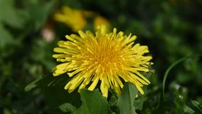 Close up one yellow dandelion flower head. Extreme close up one yellow dandelion flower head over green grass background, low angle view stock footage