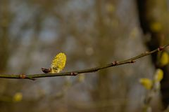 Single yellow male willow catkins on a twig, close-up on a blurry background. Close up of one yellow male willow catkins on a twig  on a  bokeh background Stock Image