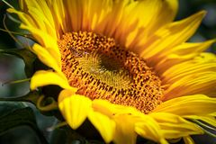 A close-up of one young bright yellow sunflower royalty free stock photos