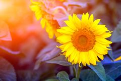A close-up of one young bright yellow sunflower stock photo