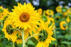 Bright yellow sunflower royalty free stock image