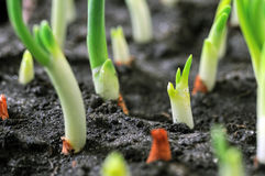 Close-up of the onion plantation Stock Photo