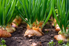 Close-up of onion plantation in a hothouse. Selective focus stock photo
