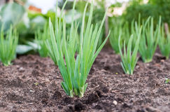 Close-up of the onion plantation Royalty Free Stock Photo