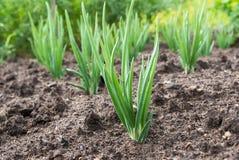 Close-up of the onion plantation Royalty Free Stock Photo