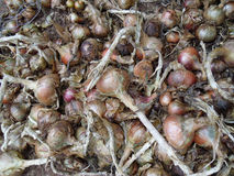 Close up of onions stock photo