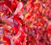 Close-up op de Langzaam verdwijnende Bladeren van de Herfst. De Nadruk van Shalow Royalty-vrije Stock Foto