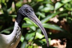 Close-up op een Australische ibis Royalty-vrije Stock Afbeeldingen
