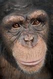 Close-up op een hoofd van een Jonge Chimpansee - Simia t Royalty-vrije Stock Foto's