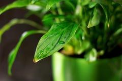 Close-up op een vers groen blad, na regen met waterdalingen De botanische Achtergrond van de Gebladerteaard Malplaatje voor behan royalty-vrije stock afbeeldingen